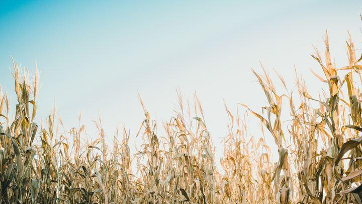 Corn Maze logo image