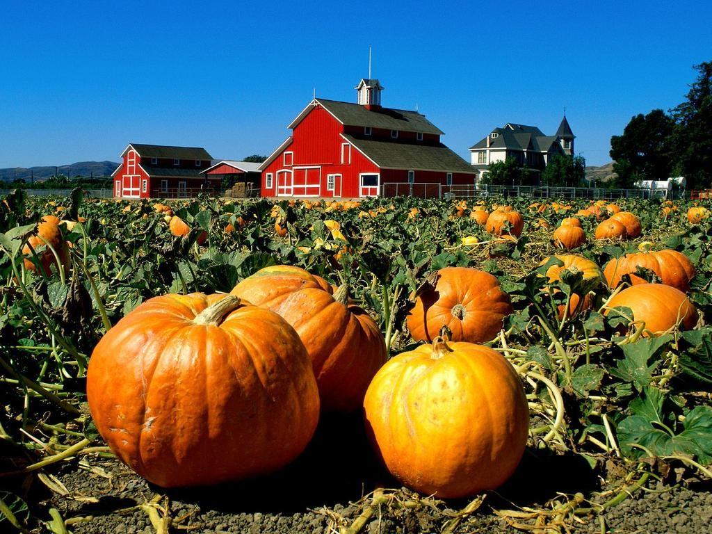 Pumpkin patch 1024x768