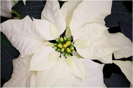 White poinsettia lg